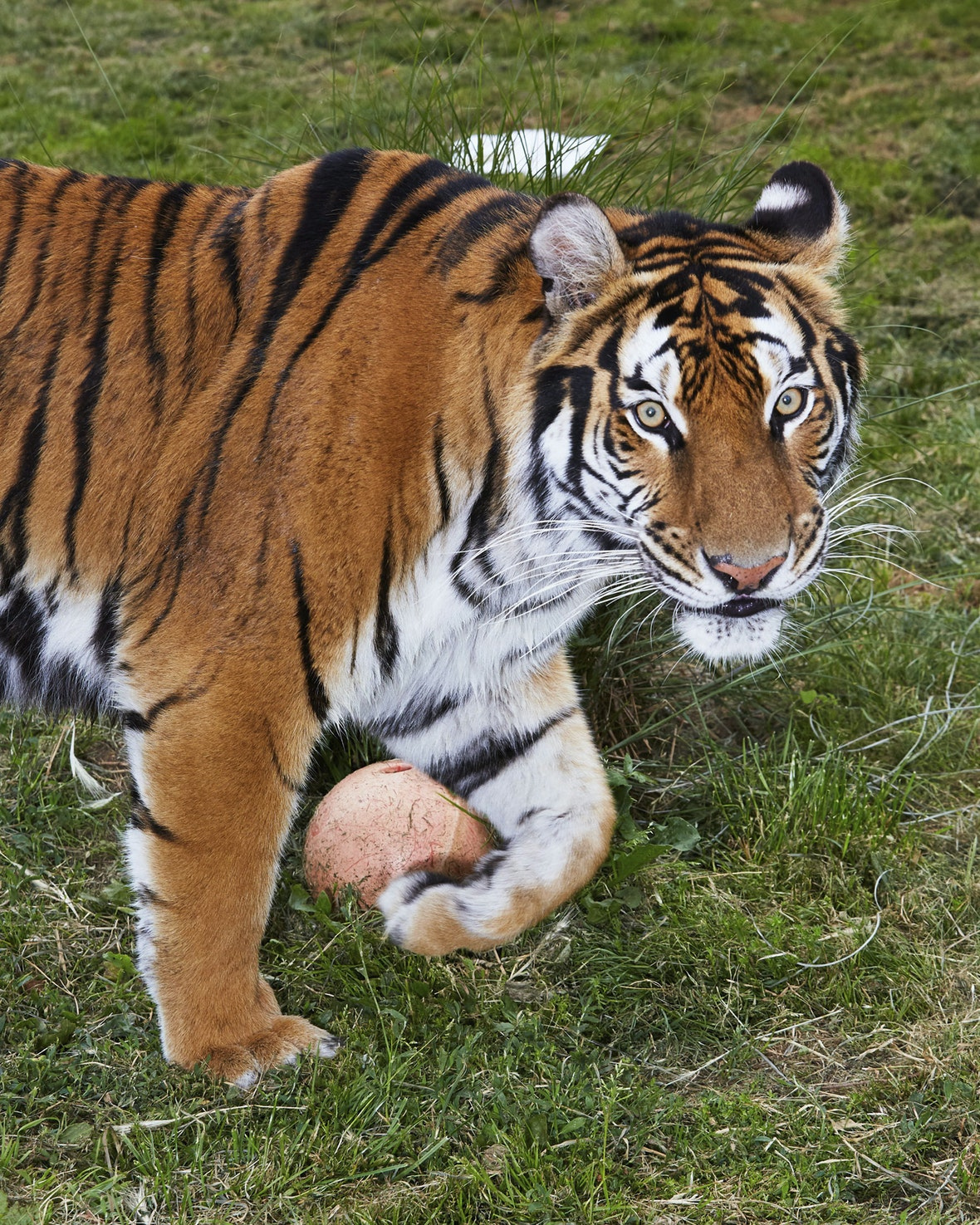Tiger King Uk On The Trail Of Britain S Big Cat The Face